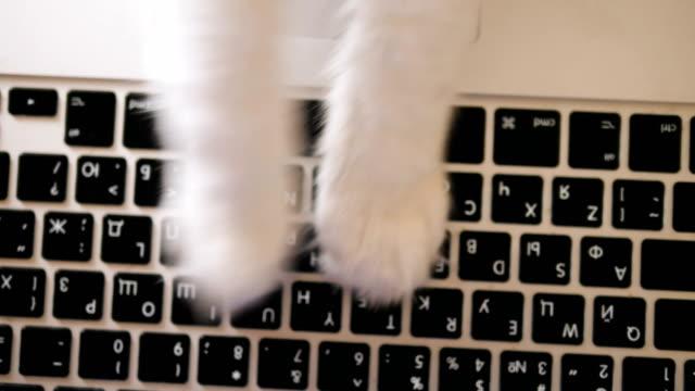 white cat paws type on black laptop keyboard close view - vídeo