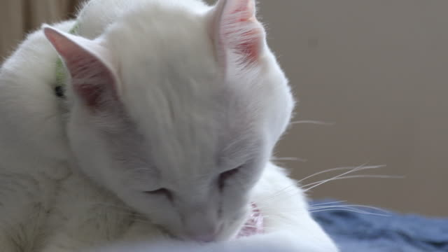 white cat - łapa filmów i materiałów b-roll