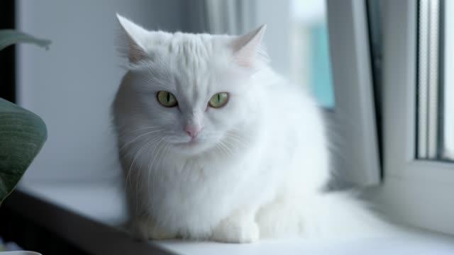 窓の近くに座って、カメラに探している緑目の白猫は。 - ふわふわ点の映像素材/bロール