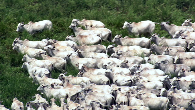 White Cattle In A Herd, Minas Gerais State  - Aerial View - Goiás, Brazil video