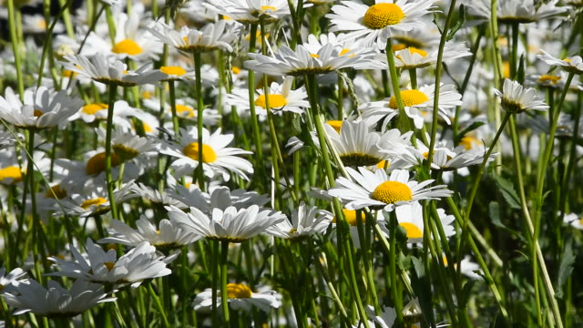 White chamomile daisy flowers in wind close up video