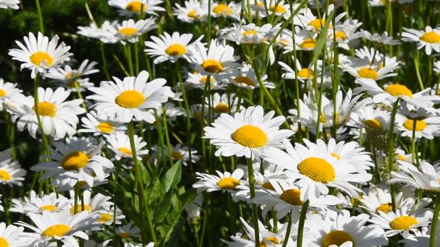 vídeos y material grabado en eventos de stock de manzanilla blanco margarita flores en el viento de cerca - manzanilla