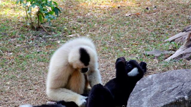 white cheeked gibbon or lar gibbon on the ground - gibbon människoapa bildbanksvideor och videomaterial från bakom kulisserna