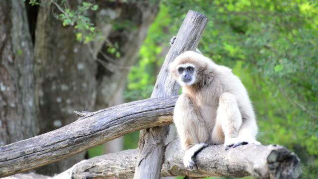 gibbone guancebianche o lar gibbone - gibbone video stock e b–roll
