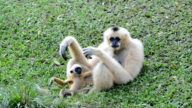 vita knubbiga gibbon eller lar gibbon - gibbon människoapa bildbanksvideor och videomaterial från bakom kulisserna