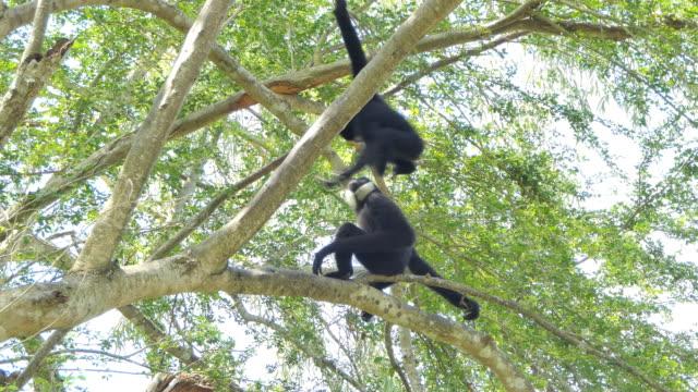 vita kinder gibbon - gibbon människoapa bildbanksvideor och videomaterial från bakom kulisserna