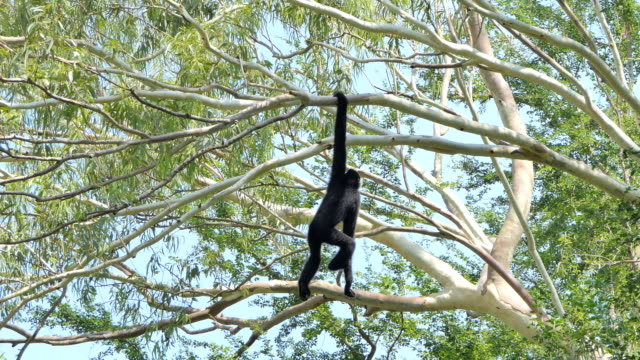 stockvideo's en b-roll-footage met white-cheeked gibbon - mensaap