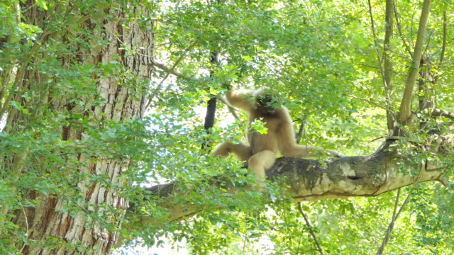 white cheeked gibbon - gibbone video stock e b–roll
