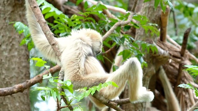 guancebianche gibbons su albero filiale. - gibbone video stock e b–roll