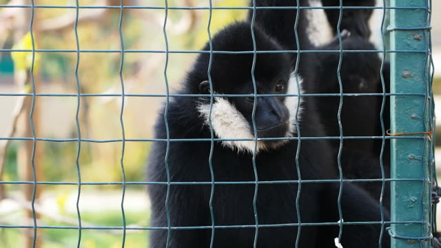 white cheeked gibbons - gibbone video stock e b–roll