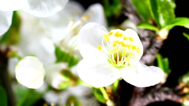 White Cherry blooming flowers video