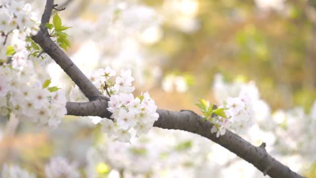 White Cherry Blossom Sakura Flower video