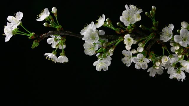 White cherry tree flowers blooming 4K video