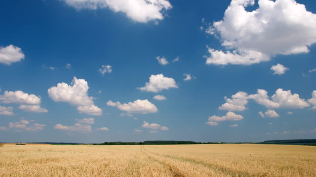 White clouds flying on blue sky over yellow oat field video