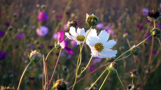 vídeos de stock e filmes b-roll de white cosmos flower sway on the wind, slow motion - oscilar