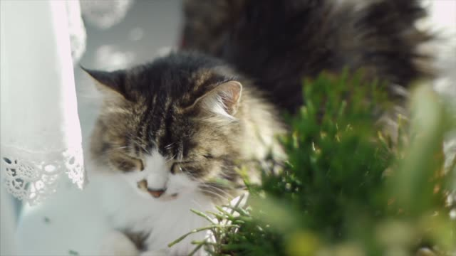 White country cat resting on the windowsill. Clip. Cute cat resting on a windowsill video