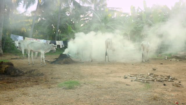 white cows standing up in a farmyard. burning of leaves and others waste on ground for chasing mosquitoes - giovenca video stock e b–roll