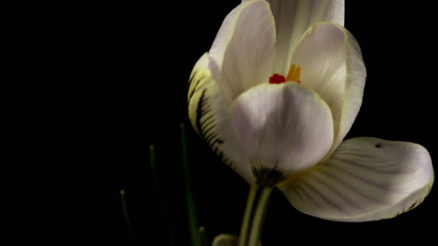 White Crocus Bloom, Blossom timelapse, snowdrops video