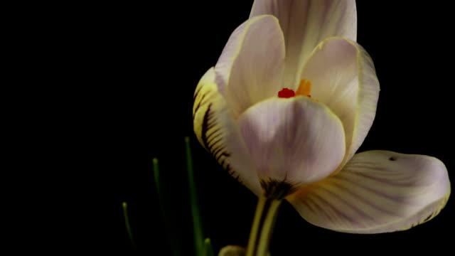 White Crocus Bloom, Blossom video