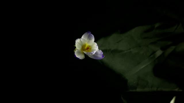 White crocus flower blooming video
