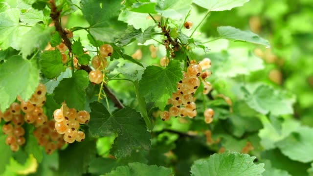 white currant berry close up crop - ribes rosso video stock e b–roll