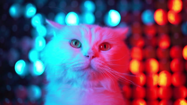 White cute furry cat on shiny flickering multi-colored background. Portrait of funny pet in neon disco club light