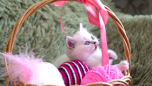 White cute kitten sitting in a basket with balls of wool video