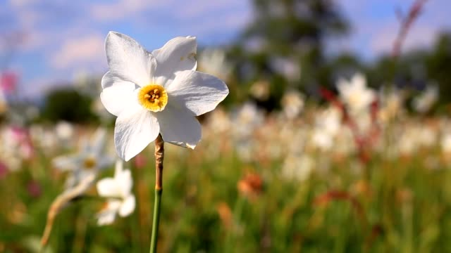 White daffodil flower in spring field. Spring field with beautiful daffodils video