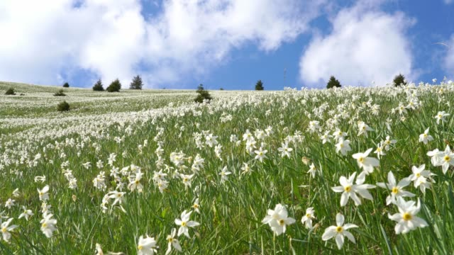 White daffodils in green mountains of Slovenia