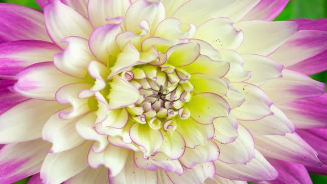 vidéos et rushes de plan rapproché blanc de fleur de dahlia - botanique