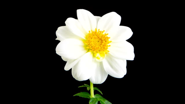 white dahlia time lapse - plants stock videos & royalty-free footage