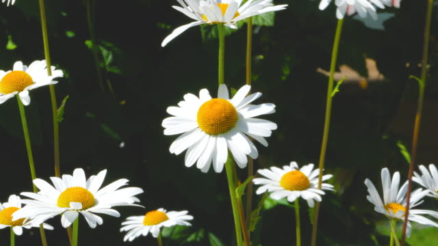 White daisies in the sun