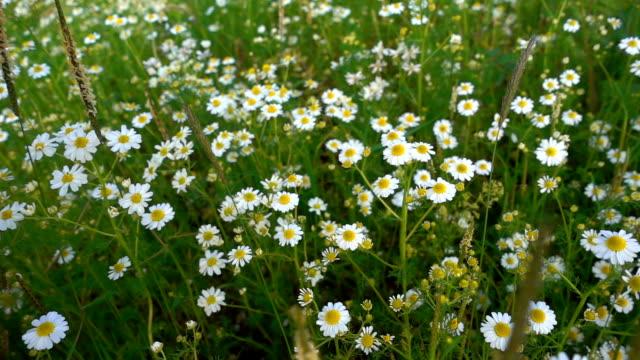 White Daisy Flower in Nature