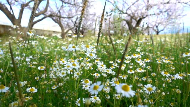 vídeos y material grabado en eventos de stock de flor blanca margarita en la naturaleza - manzanilla