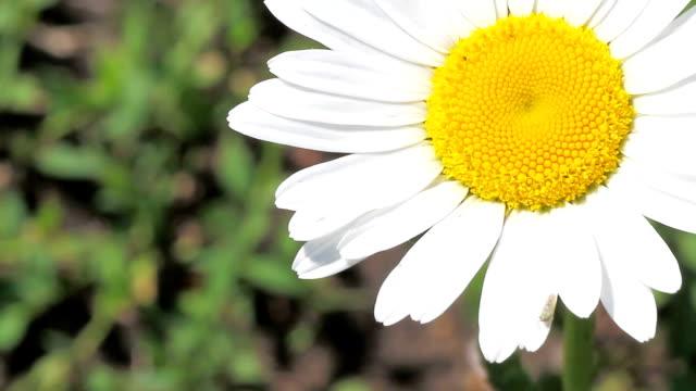 white daisy video
