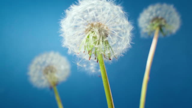 White dandelion blossom gets blown away by the spring wind
