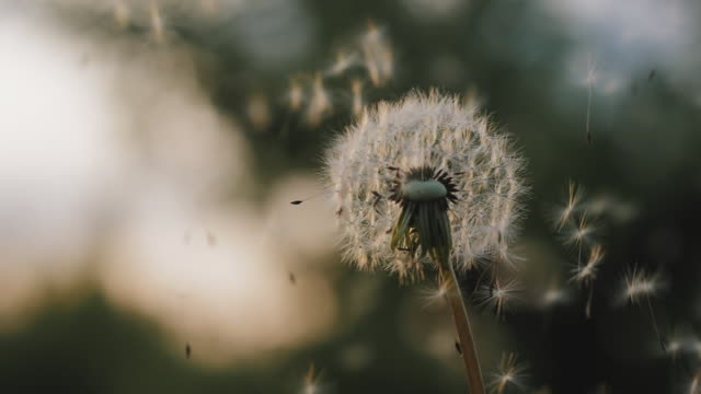 White dandelion blossom gets blown away by the wind