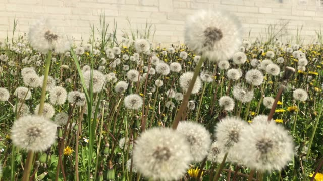White Dandelion Seed Heads in the French Countryside