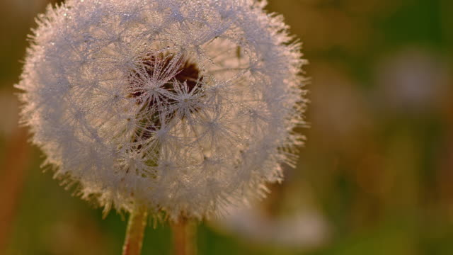 R/F White dandelion video