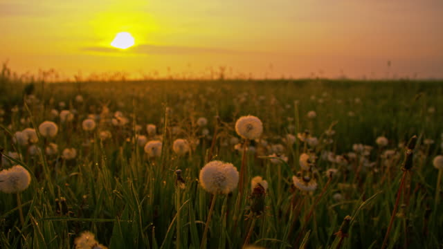 DS White dandelions at dawn video