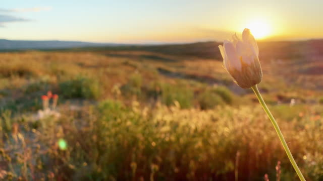 White Desert Daisies Sway Gently in the High Desert at Sunset