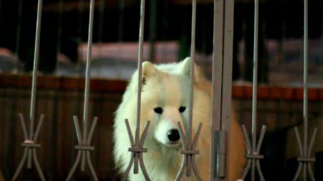 vídeos de stock e filmes b-roll de branco cães um ladrar atrás de uma vedação - samoiedo