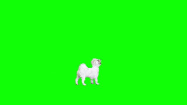 bianco cane passa da un lato all'altro - fianco a fianco video stock e b–roll