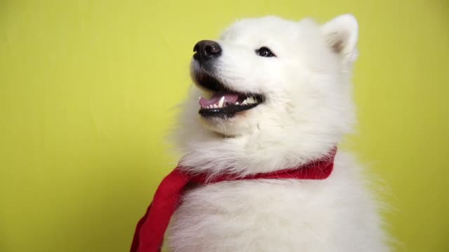 White dog in a red scarf. video