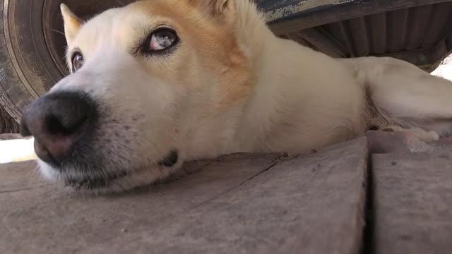 White dog lies below the trailer