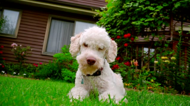 White dog looking at camera. White poodle dog lying on grass. Dog running away video