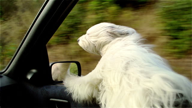 White dog peeking through the window of a moving car video