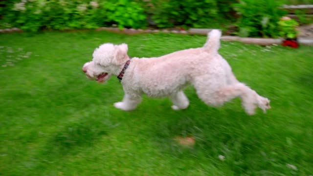 White dog playing with owner. Poodle dog running with ball in mouth on grass video