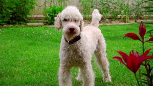 White dog portrait. Labradoodle standing on lawn near flowers. Poodle dog video