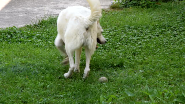 white dog rolling on grass scratching his back because of fleas - pasożyt filmów i materiałów b-roll